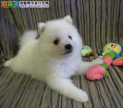 石家庄实体店出售精品银狐犬保健康终身售后保障