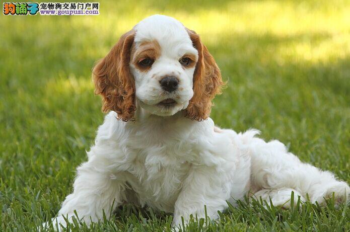 长沙哪里有卖可卡犬 纯种可卡犬价格
