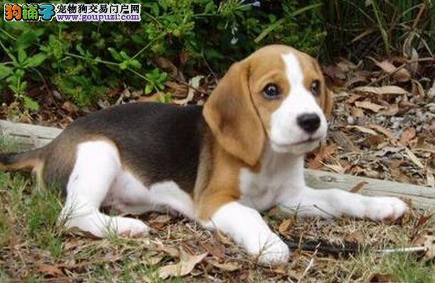 养殖基地出售各类纯种名犬比格犬