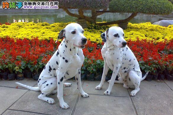 深圳纯种斑点狗价格是多少 中原低价出售斑点狗
