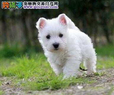 纯种高品质西高地白梗幼犬 活泼可爱1