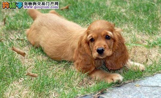 莱芜繁殖纯种可卡犬低价出售 可上门选购 有血统证书