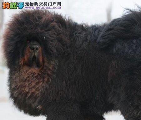 曲靖大型犬舍便宜出售出售正宗藏獒均有三证保障