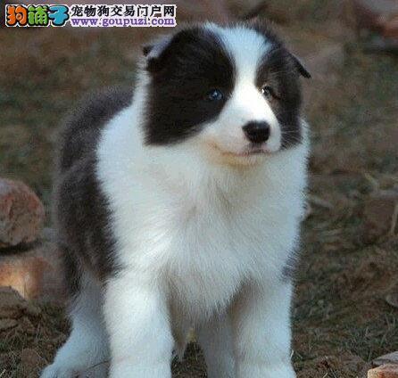 极品边牧 边境牧羊犬杭州出售 公母全有欢迎选购