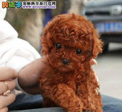 深圳本地犬舍出售韩系血统泰迪犬 纯种血统有证书