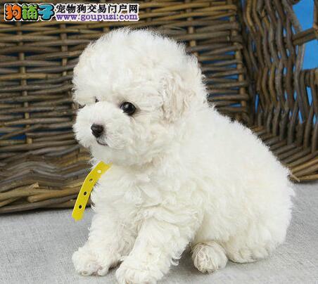 极品韩系血统小体沈阳泰迪犬热销 可签订售后协议书1
