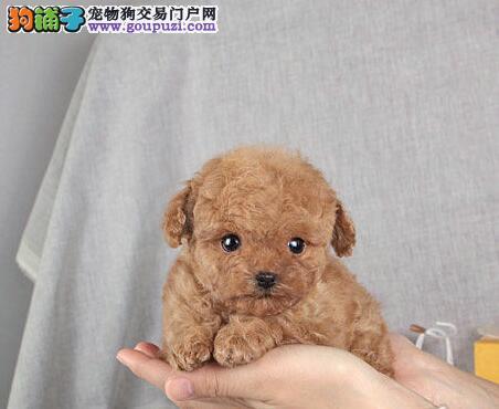 为泰迪犬美容的一些相关知识