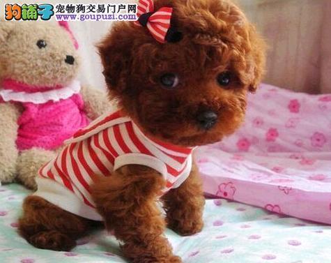 直销价格出售韩系小体北京泰迪犬 可视频看实物可预定