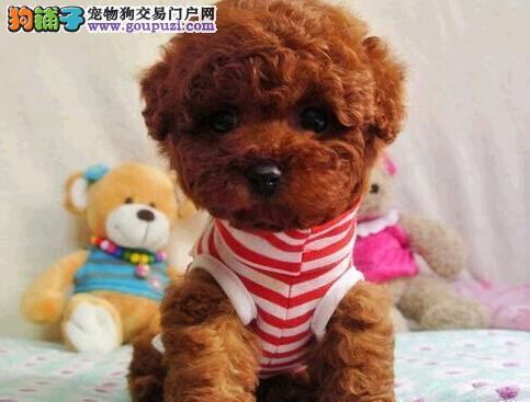 呼和浩特韩系家庭繁殖精品泰迪幼犬 泰迪宝宝超好养