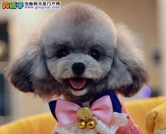 北京出售泰迪犬玩具犬家养超漂亮韩国引进茶杯体型小
