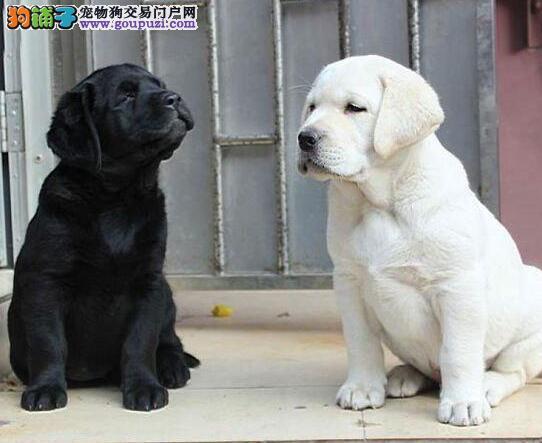 上海小拉 健康保终身 拉布拉多幼犬,多只可选