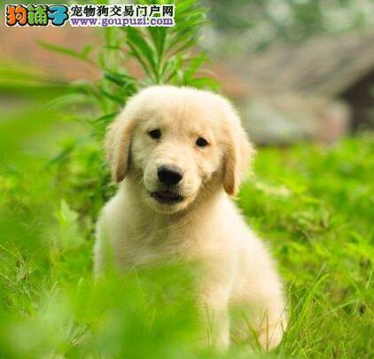 贵族纯正金毛 国际血统品质保障 购犬可签协议