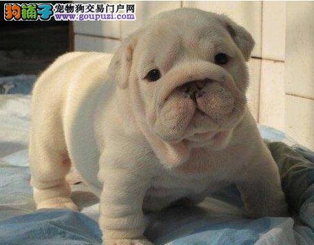 西安犬舍出售精品黑白花法国斗牛犬 大鼻筋 保纯包健康3