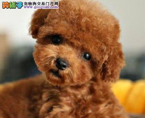 泰迪犬宝宝热销中、国际血统品质保障、质保全国送货1