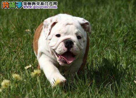 CKU犬舍认证南宁出售纯种英国斗牛犬外地可空运已驱虫