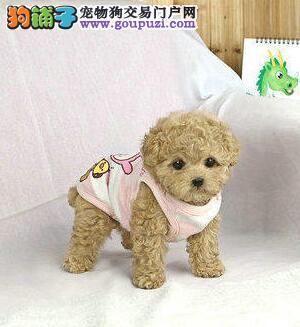100%纯种健康的泰迪犬出售微信咨询看狗2