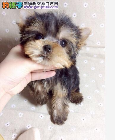 上海金顶银背约克夏 梗犬茶杯系约克夏幼犬出售