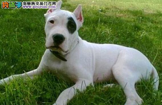 出售杜高犬幼犬品质好有保障请您放心选购