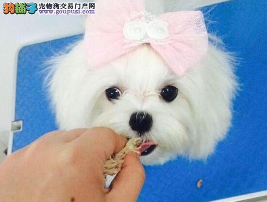 北京售马尔济斯犬 马尔济斯幼犬公母全有