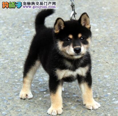 深圳售赛级品质纯血柴犬日系柴犬三针齐全包健康