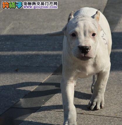 高品质阿根廷大头宽头版大骨架杜高犬出售