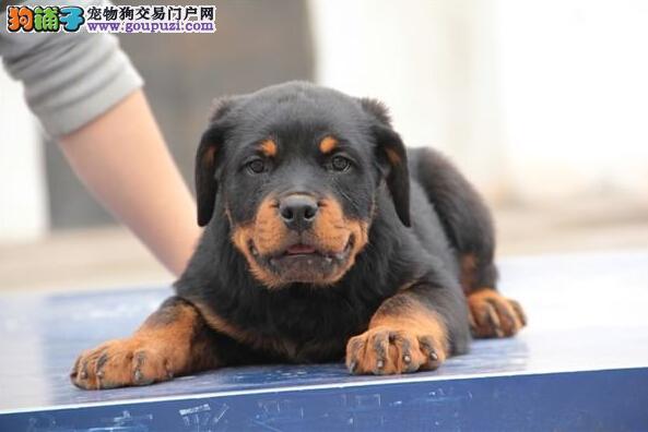 提防低价骗局 正规养殖场直销 常州买罗威纳犬必选1
