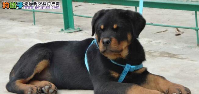 北京出售纯种高品质罗威纳犬 签订购权协议 犬舍直销