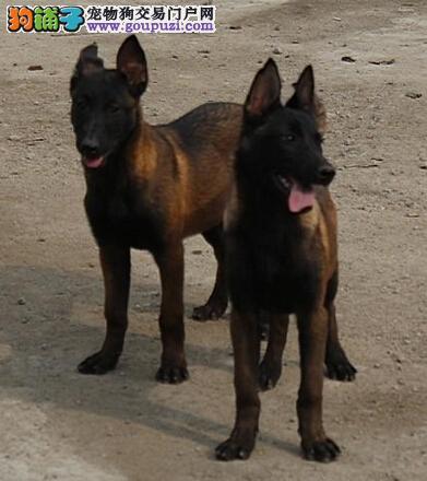 南京自家繁殖马犬出售公母都有诚信经营三包终身协议