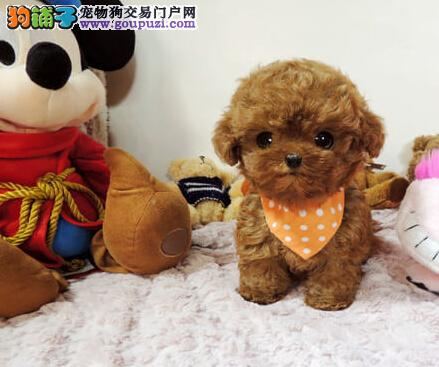 多种颜色的赛级茶杯犬幼犬寻找主人品质一流三包终身协议