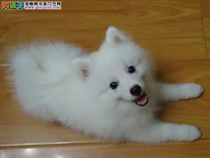 日系纯种银狐犬尖嘴纯白 喜欢的朋友可以加微信