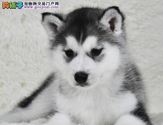 出售纯种可爱三火双蓝眼哈士奇幼犬,欢迎上门选购