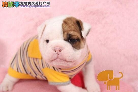 深圳出售高品质英斗、英国斗牛犬幼犬公母全有可挑选