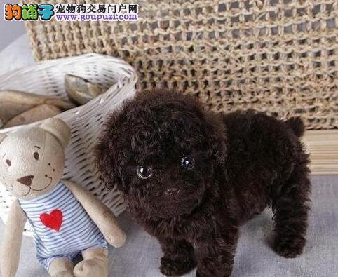 泰迪犬宝宝热销中、国际血统品质保障、质保全国送货3