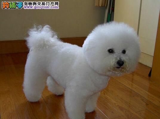 福州自家狗场热销纯种卷毛比熊犬 欢迎来福州犬舍购买