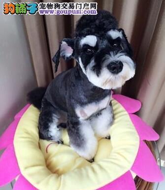 廊坊知名犬舍出售多只赛级雪纳瑞国外引进假一赔百