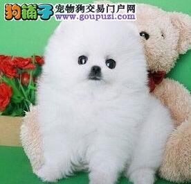 繁育基地热销乌鲁木齐博美犬公母都有质保出售