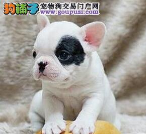 纯种法国斗牛犬幼犬 专业繁殖宝宝健康 三年联保协议