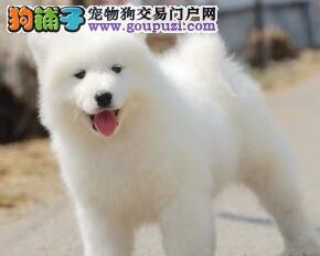 昆明售天使萨摩萨摩耶幼犬 微笑天使公母全有