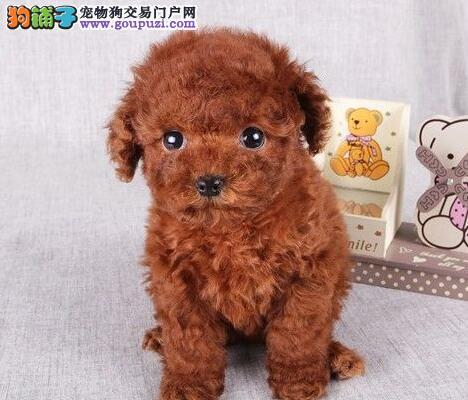 多种颜色的赛级贵宾犬幼犬寻找主人微信看狗真实照片包纯