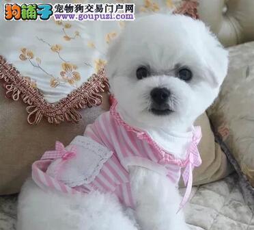 广州售纯种比熊犬 白色粉扑棉花糖幼犬公母全有可挑选