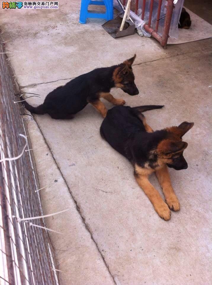 吉林省出售狼狗 可视频看狗 疫苗齐全 质量三包 保健康