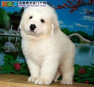 大白熊犬做完疫苗后多久可以带出去