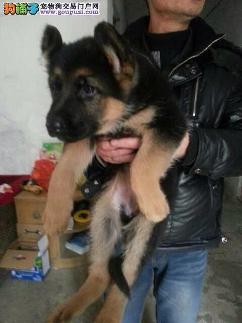 出售极品狼狗幼犬完美品相看父母照片喜欢加微信