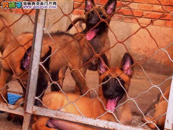 丽江地区出售 警犬马犬霹雳的后代神经类型好