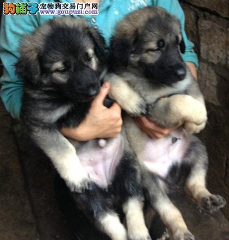 精品昆明犬幼犬一对一视频服务买着放心质保协议疫苗驱虫齐全2