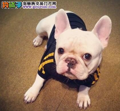 直销优质大鼻筋斗牛犬重庆专业犬舍繁殖 可接受预定