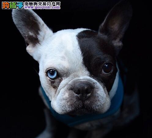 北京出售纯种法国斗牛幼犬 健康法斗 疫苗驱虫已做图片