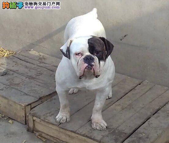 CKU认证犬舍 专业出售极品 美国斗牛犬幼犬周边免费送货
