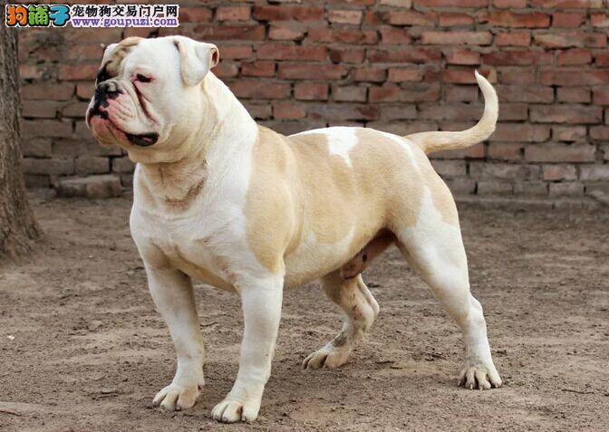 自家繁殖的纯种美国斗牛犬找主人包售后包退换图片