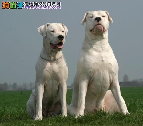 纯种杜高犬幼犬出售 疫苗齐全 看视频看狗 90天包退换